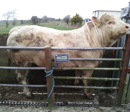 8 ft Bull weigh Scale