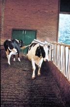 Cattle Brush